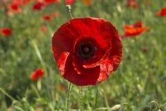 Όμορφος μετωπικός στενός επάνω ενός λουλουδιού παπαρουνών στοκ φωτογραφίες με δικαίωμα ελεύθερης χρήσης
