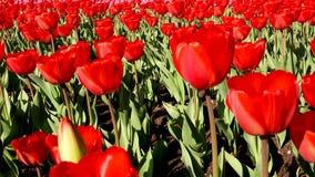 Όμορφος με τις κόκκινες τουλίπες, Ολλανδία φιλμ μικρού μήκους