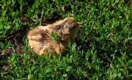 Όμορφος μικρός νεοσσός στην πράσινη χλόη Στοκ Φωτογραφίες