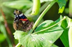 Όμορφος μονάρχης πεταλούδων στο πράσινο φύλλο Στοκ Φωτογραφία