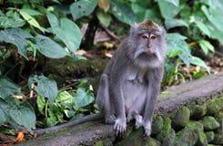 Όμορφος μοναδικός πίθηκος πορτρέτου στο δάσος πιθήκων στο Μπαλί Ινδονησία, όμορφο άγριο ζώο στοκ εικόνες