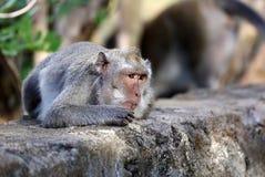Όμορφος μοναδικός πίθηκος πορτρέτου στο δάσος πιθήκων στο Μπαλί Ινδονησία, όμορφο άγριο ζώο στοκ φωτογραφία
