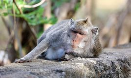 Όμορφος μοναδικός πίθηκος πορτρέτου στο δάσος πιθήκων στο Μπαλί Ινδονησία, όμορφο άγριο ζώο στοκ φωτογραφία με δικαίωμα ελεύθερης χρήσης