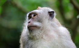 Όμορφος μοναδικός πίθηκος πορτρέτου στο δάσος πιθήκων στο Μπαλί Ινδονησία, όμορφο άγριο ζώο στοκ εικόνα