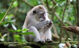 Όμορφος μοναδικός πίθηκος πορτρέτου στο δάσος πιθήκων στο Μπαλί Ινδονησία, όμορφο άγριο ζώο στοκ εικόνες με δικαίωμα ελεύθερης χρήσης