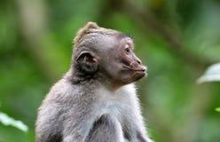 Όμορφος μοναδικός πίθηκος φιλιών πορτρέτου στο δάσος πιθήκων στο Μπαλί Ινδονησία, όμορφο άγριο ζώο στοκ φωτογραφίες με δικαίωμα ελεύθερης χρήσης