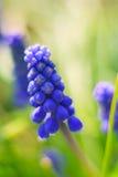 όμορφος μπλε υάκινθος σταφυλιών λουλουδιών Στοκ εικόνα με δικαίωμα ελεύθερης χρήσης