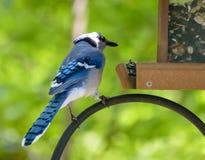 Όμορφος μπλε jay που σκαρφαλώνει στον τροφοδότη πουλιών Στοκ Εικόνες