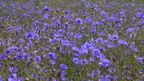 Όμορφος μπλε άγριος τομέας cornflower μέσα και αέρας απόθεμα βίντεο
