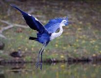 Όμορφος μπλε τσικνιάς που προσγειώνεται με τα φτερά που διαδίδονται Στοκ Φωτογραφία