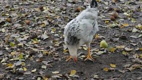 Όμορφος νέος κόκκορας που ψάχνει για τα τρόφιμα έξω στο λιβάδι απόθεμα βίντεο