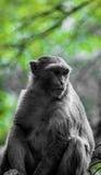 Όμορφος ντροπαλός πίθηκος Στοκ Εικόνες