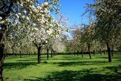 Όμορφος οπωρώνας στο άνθος Στοκ Εικόνες