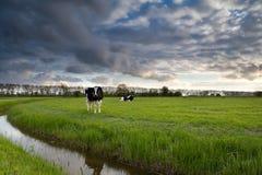 Όμορφος ουρανός πέρα από το λιβάδι με τα βοοειδή Στοκ Εικόνες