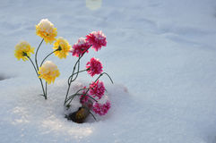 Όμορφος λουλουδιών χειμώνας χιονιού εγκαταστάσεων ανθών αυξανόμενος Στοκ Φωτογραφίες