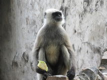 Όμορφος πίθηκος Στοκ Εικόνες