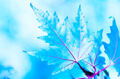 Όμορφος παγωμένος χειμώνας φύλλων σφενδάμου Στοκ φωτογραφία με δικαίωμα ελεύθερης χρήσης