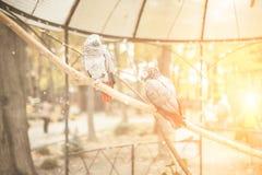 Όμορφος παπαγάλος δύο σε ένα τροπικό γκρίζο πουλί ι κλουβιών ζωολογικών κήπων Στοκ Εικόνα
