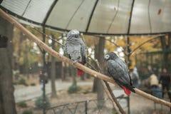Όμορφος παπαγάλος δύο σε ένα τροπικό γκρίζο πουλί ι κλουβιών ζωολογικών κήπων Στοκ φωτογραφία με δικαίωμα ελεύθερης χρήσης