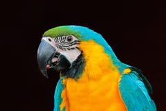 όμορφος παπαγάλος Πορτρέτο του μπλε-και-κίτρινου macaw, ararauna Ara, πορτρέτο λεπτομέρειας του macaw, μεγάλος νότος - αμερικανικ Στοκ Φωτογραφία