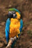 όμορφος παπαγάλος Το πορτρέτο του μπλε-και-κίτρινου macaw, ararauna Ara, επίσης γνωστό ως μπλε-και-χρυσό macaw, είναι μια μεγάλη  Στοκ φωτογραφίες με δικαίωμα ελεύθερης χρήσης