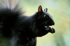 Όμορφος πεινασμένος σκίουρος που τρώει τα καρύδια Στοκ Εικόνα