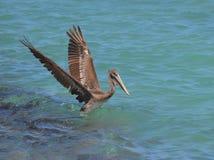 Όμορφος πελεκάνος που προσγειώνεται στα τροπικά νερά Aruban Στοκ Φωτογραφίες