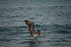 Όμορφος πελεκάνος που προσγειώνεται στο aruban νερό Στοκ φωτογραφία με δικαίωμα ελεύθερης χρήσης