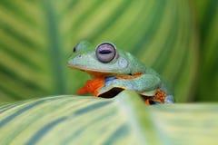 Όμορφος πετώντας βάτραχος μόνος Στοκ Φωτογραφίες