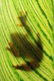 Όμορφος πετώντας βάτραχος στο φύλλο Στοκ Φωτογραφία