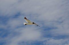 Όμορφος πετώντας γλάρος με τα φτερά του που διαδίδονται Στοκ φωτογραφίες με δικαίωμα ελεύθερης χρήσης