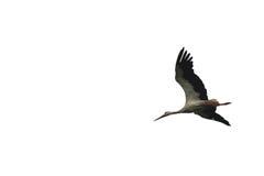Όμορφος πετώντας πελαργός που απομονώνεται στην άσπρη κινηματογράφηση σε πρώτο πλάνο υποβάθρου Στοκ εικόνες με δικαίωμα ελεύθερης χρήσης
