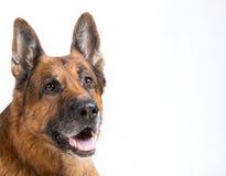 όμορφος ποιμένας σκυλιών στοκ φωτογραφία