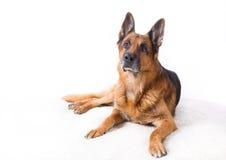 όμορφος ποιμένας σκυλιών στοκ εικόνες με δικαίωμα ελεύθερης χρήσης