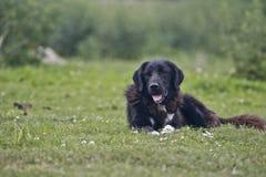 όμορφος ποιμένας σκυλιών Στοκ Φωτογραφίες