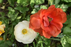 Όμορφος πορτοκαλής αυξήθηκε με τον οφθαλμό λουλουδιών μωρών Στοκ φωτογραφίες με δικαίωμα ελεύθερης χρήσης