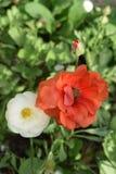 Όμορφος πορτοκαλής αυξήθηκε με τον οφθαλμό λουλουδιών μωρών Στοκ Φωτογραφία