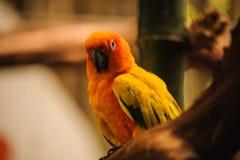 Όμορφος πορτοκαλής παπαγάλος, conure ήλιων Στοκ Εικόνα