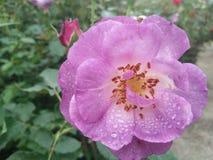 Όμορφος πορφυρός αυξήθηκε λουλούδι στον κήπο Στοκ εικόνα με δικαίωμα ελεύθερης χρήσης