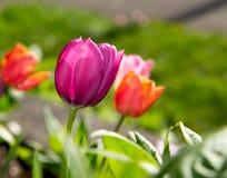 Όμορφος πορφυρός κήπος τουλιπών που ανθίζουν την άνοιξη Στοκ Φωτογραφίες