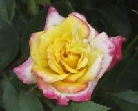 Όμορφος πολύχρωμος αυξήθηκε στον κήπο Στοκ φωτογραφία με δικαίωμα ελεύθερης χρήσης