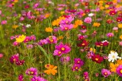 Όμορφος πολύχρωμος τομέας λουλουδιών, ρομαντικές υπόβαθρο λουλουδιών και ταπετσαρία, Στοκ εικόνες με δικαίωμα ελεύθερης χρήσης