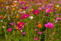 Όμορφος πολύχρωμος τομέας λουλουδιών, ρομαντικές υπόβαθρο λουλουδιών και ταπετσαρία, Στοκ Εικόνα