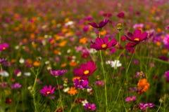 Όμορφος πολύχρωμος τομέας λουλουδιών, ρομαντικές υπόβαθρο λουλουδιών και ταπετσαρία, Στοκ εικόνα με δικαίωμα ελεύθερης χρήσης