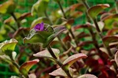 Όμορφος, πράσινος, εγκαταστάσεις βελούδου με ένα μικρό πορφυρό λουλούδι στοκ φωτογραφίες με δικαίωμα ελεύθερης χρήσης