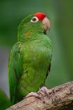 Όμορφος πράσινος παπαγάλος Finsch parakeet, finschi Aratinga, Κόστα Ρίκα Στοκ φωτογραφία με δικαίωμα ελεύθερης χρήσης