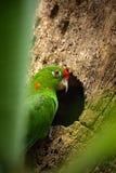Όμορφος πράσινος παπαγάλος Finsch parakeet, finschi Aratinga Πουλί παπαγάλων στο δασικό βιότοπο Συνεδρίαση παπαγάλων Στοκ φωτογραφία με δικαίωμα ελεύθερης χρήσης
