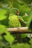 Όμορφος πράσινος παπαγάλος Finsch parakeet, finschi Aratinga, πουλί στο δασικό βιότοπο Στοκ φωτογραφία με δικαίωμα ελεύθερης χρήσης
