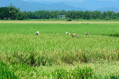 Όμορφος πράσινος τομέας ορυζώνα ρυζιού φωτογραφισμένο πεζούλι ρυζιού του Μπαλί η Ινδονησία Στοκ Φωτογραφία