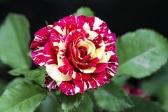 Όμορφος ροζ διακόπτης κίτρινος σε έναν κήπο στοκ φωτογραφίες με δικαίωμα ελεύθερης χρήσης
